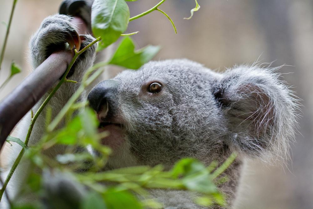 Photo in Animal #koala