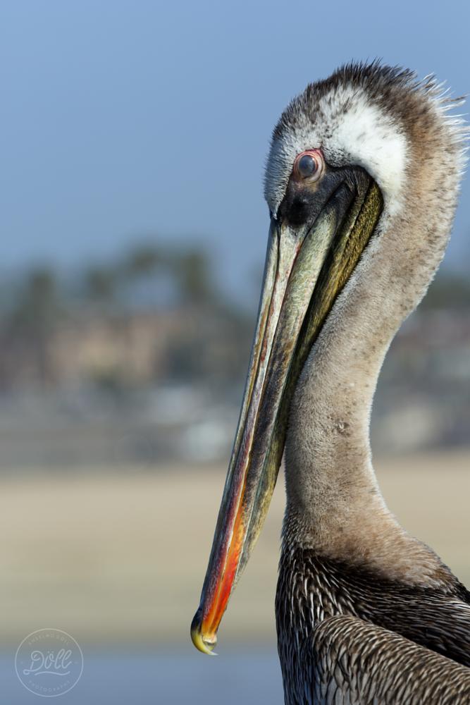 Photo in Journalism #huntington #pelicano #california