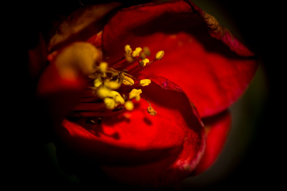 Photo in Nature #fruit #flower #red #japanese quince #yellow #macro