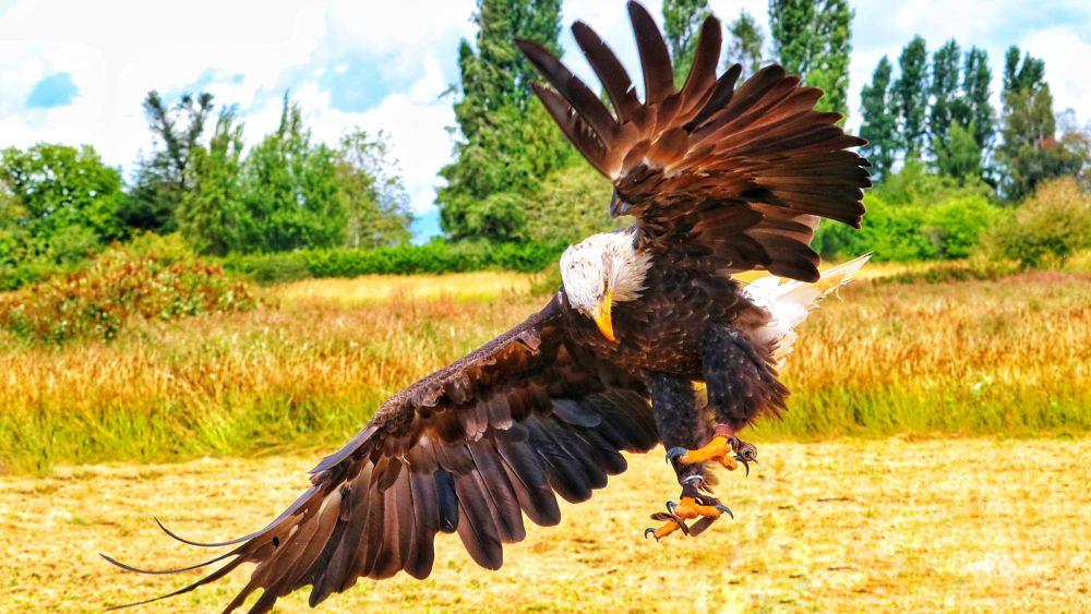 Photo in Random #yvreagle #raptor #flight