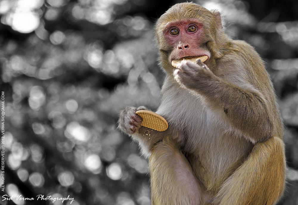 Photo in Random #bandar #monkeys #wild animals #sidvermaphotography.com #bander #animals of india #indian animals #indian wildlife #sid verma photography #nikon d7000 photos #sigma 50-500mm photos #funny animals #crazy animals #hilarious animals #greedy monkey #greedy macaque #indian monkey #indian macaque #funny monkey #funny macaque #hilarious monkey #hilarious macaque #crazy monkey #crazy monkeys #crazy macaques #monkey eating biscuits #monkey stuffing its mouth #funny pictures #funny photographs #funny pics #hilarious photos #hilarious ph