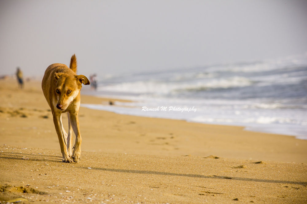 Photo in Landscape #beach #dog #sunrise #landscape #animals #chennai #wildlife photography #indian photography #ramesh m photography #indian nature photography #besant nagar beach #ramesh m