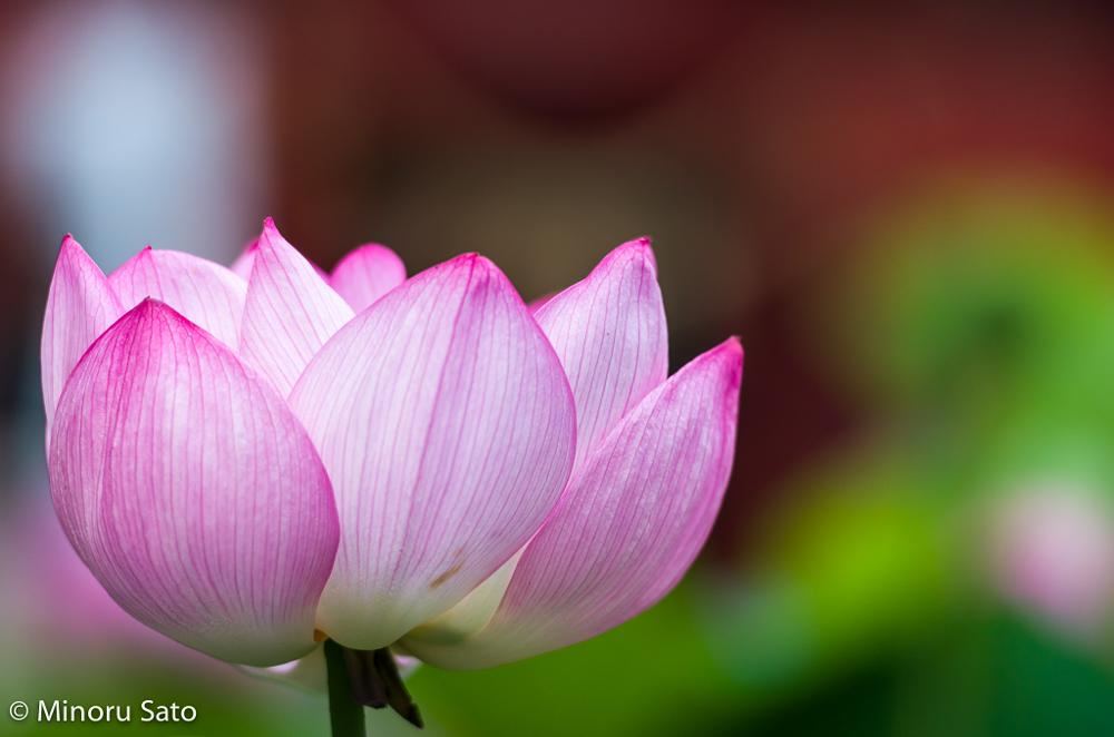 Photo in Random #cilene #flor de lotus #hasu no hana #iga hachiman gu #lope #okazaki #sheila