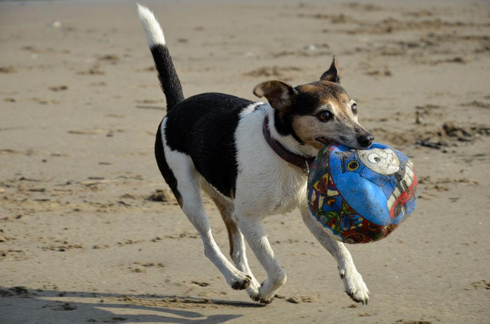 Photo in Animal #animal #dog #play #ball #beach