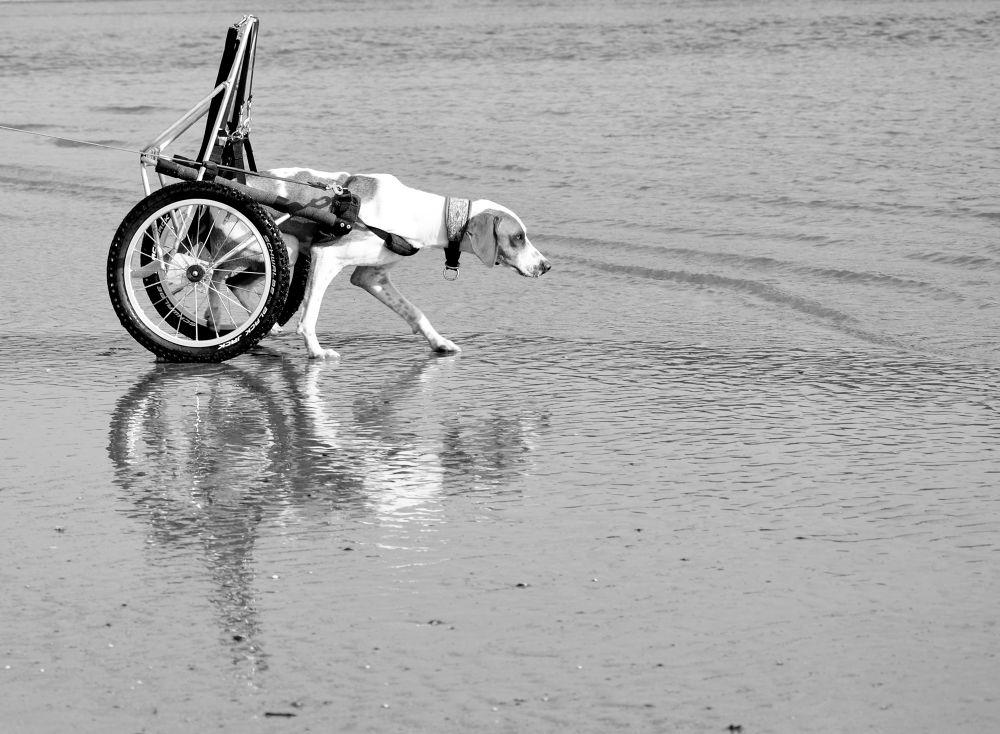 Photo in Animal #dog #animal #handicap #ypa2013 #black and white