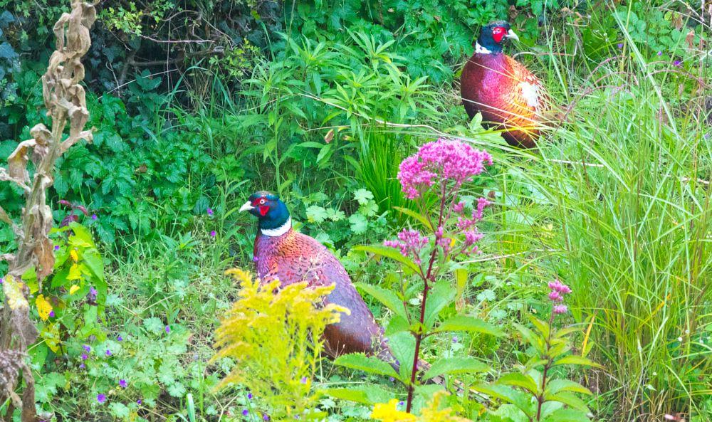 Photo in Nature #pheaasant #pheasants #birds #game birds #nature