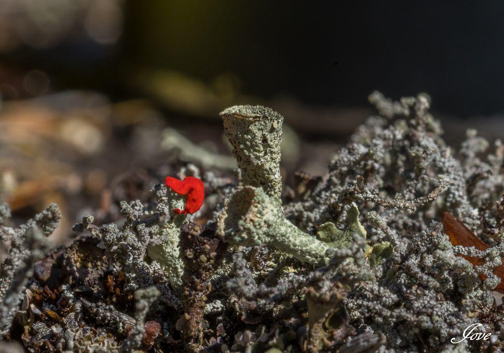 Photo in Macro #nature #lichen #red
