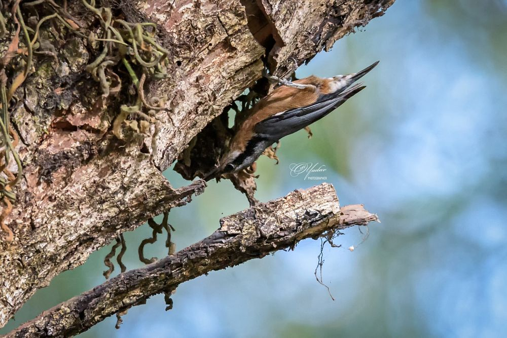 Photo in Animal #animals #birds #nature #wildlife #natural #beauty #kathmandu #nepal #nuthatch