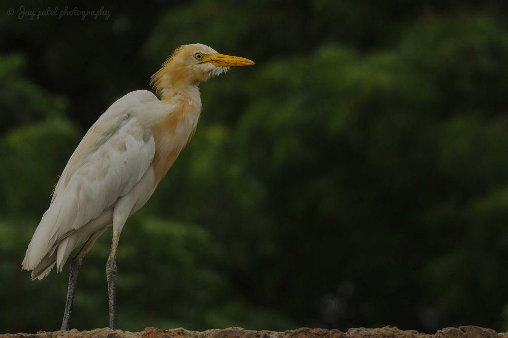 Photo in Random #egret #cattle egret #cattle-egret #cattle_egret #bubuulcus ibis #bubuulcus-ibis #bubuulcus_ibis