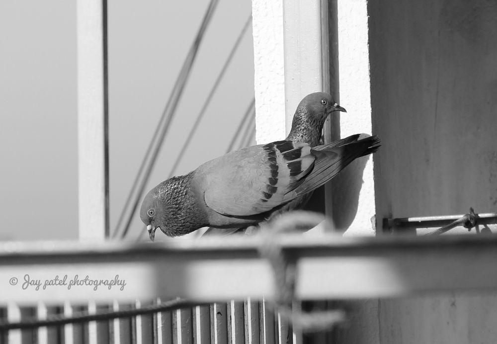 Photo in Animal #pigeon #rockpigeon #dove