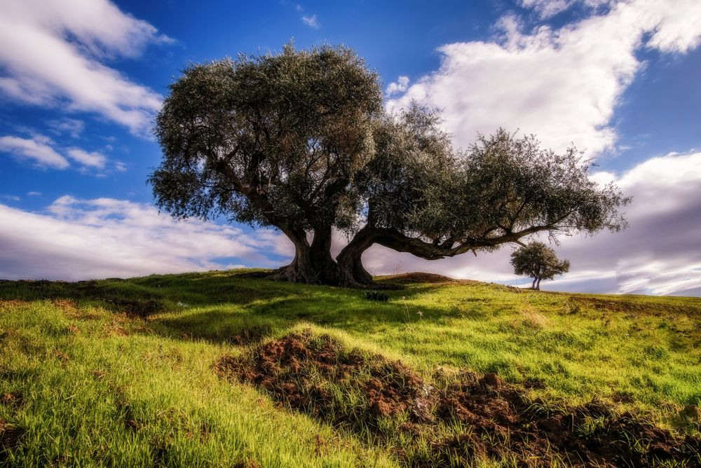 Photo in Landscape #olives tree #tree #grass #green #field #sky #blue #clouds