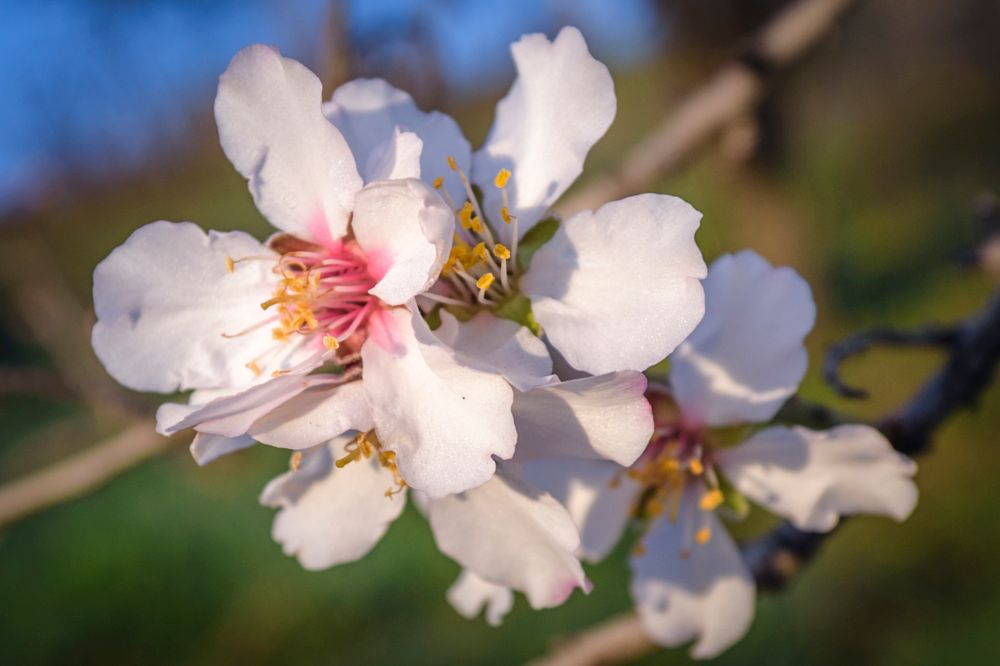 Photo in Nature #almond flowers #white flowers #close up #macro #pollen #spring