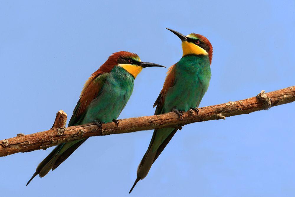 Photo in Animal #bee-eaters #merops apiaster #birds #animal