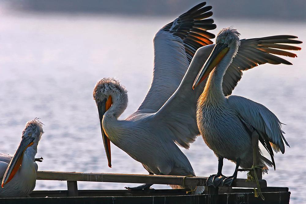 Photo in Animal #pelecanus crispus #dalmatian pelican #birds #lake #prespa lakes #kerkini lake #greece