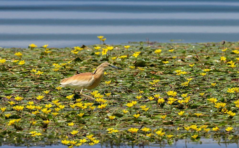 Photo in Animal #squacco heron #ardeola ralloides #kerkini #lake #greece