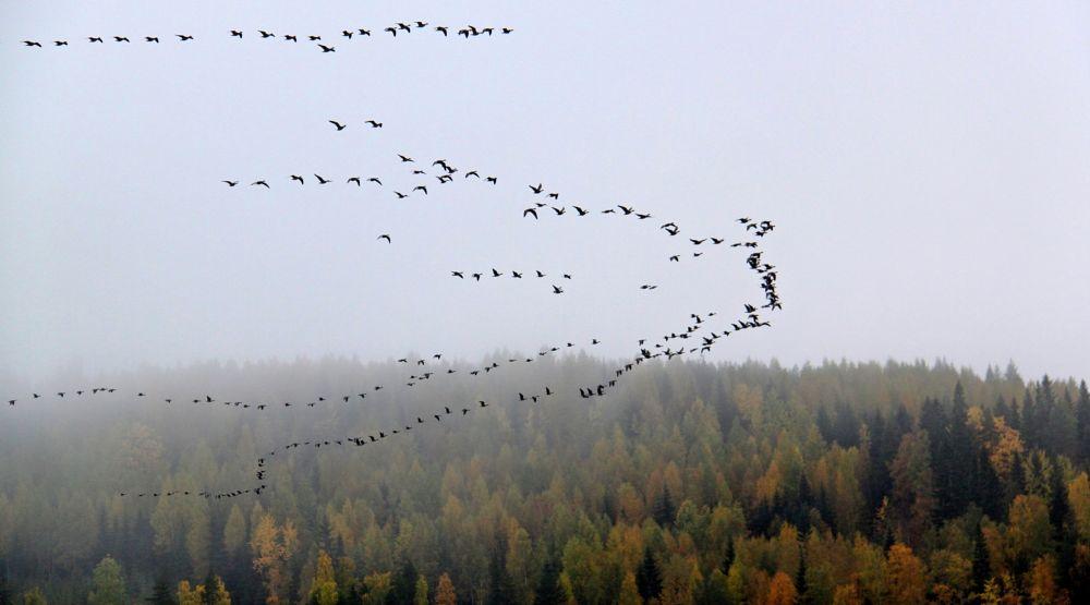 Photo in Nature #finland #birds #migration #seasons #autumn #nature