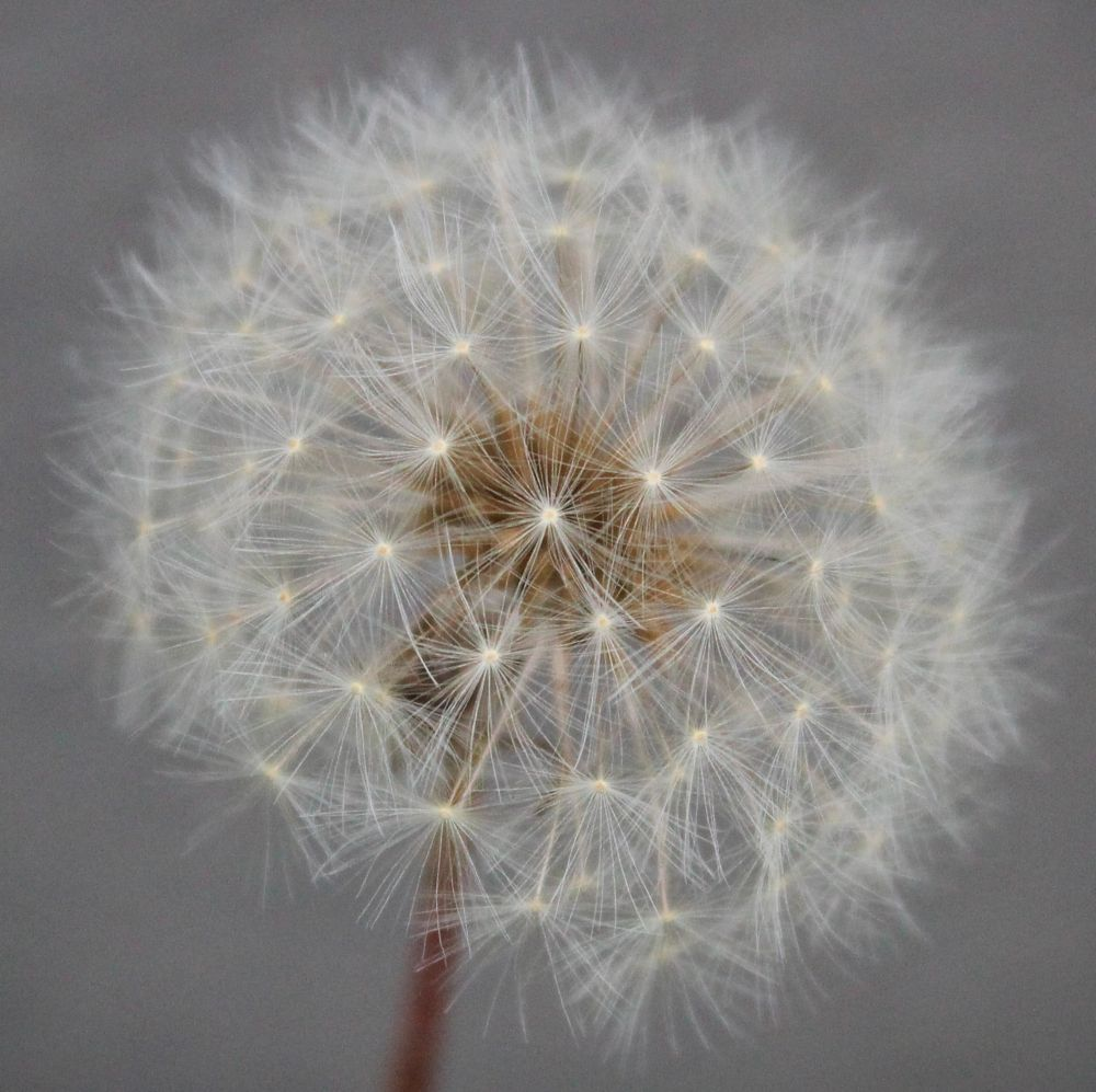 Photo in Nature #dandelion #dandelionfuzz #nature #flower