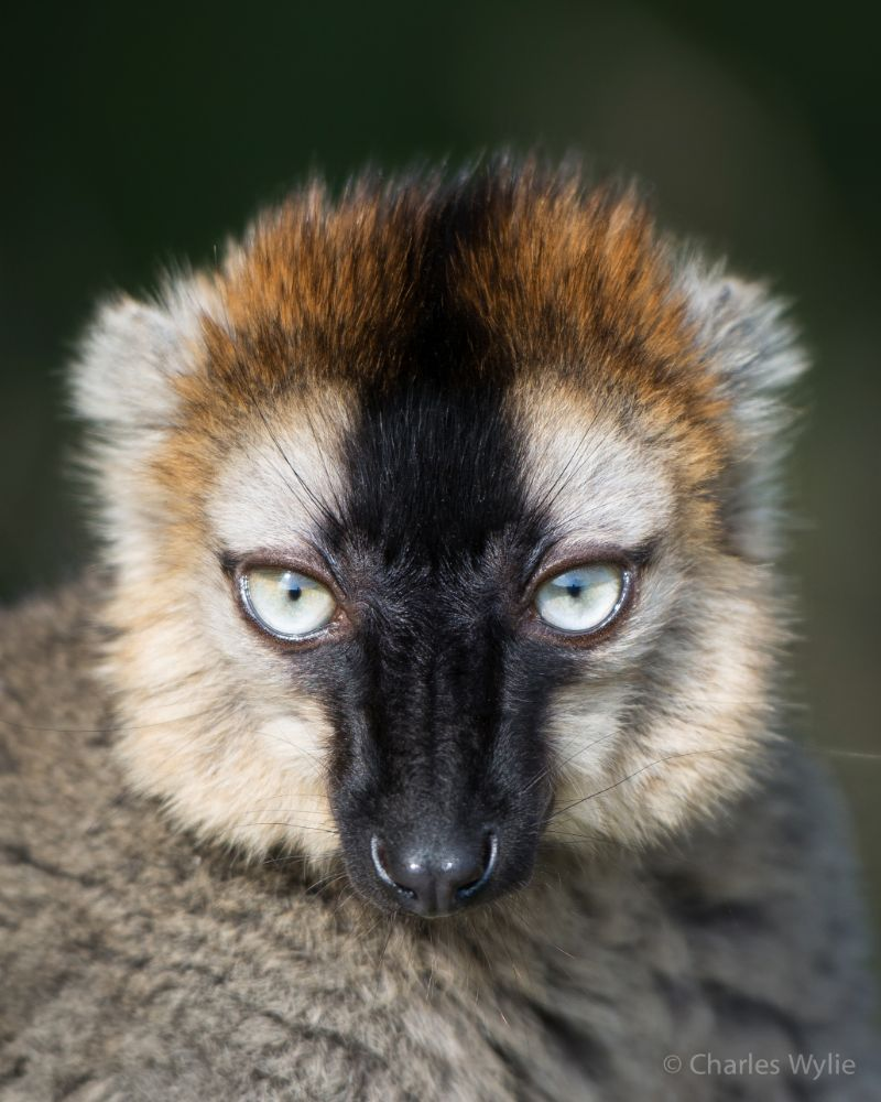 Photo in Animal #lemur #durrell #red fronted brown lemur #durrell wildlife conservation  #jersey #channel islands