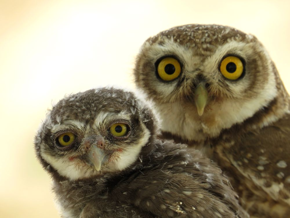 Photo in Animal #nature #wild #bird #owlet