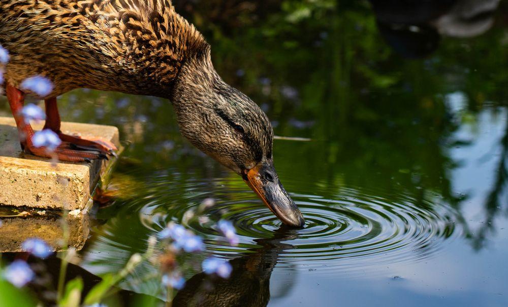 Photo in Animal #nature #hungary #duck #mallard #drinking #water bird #animal #wild animal #spring