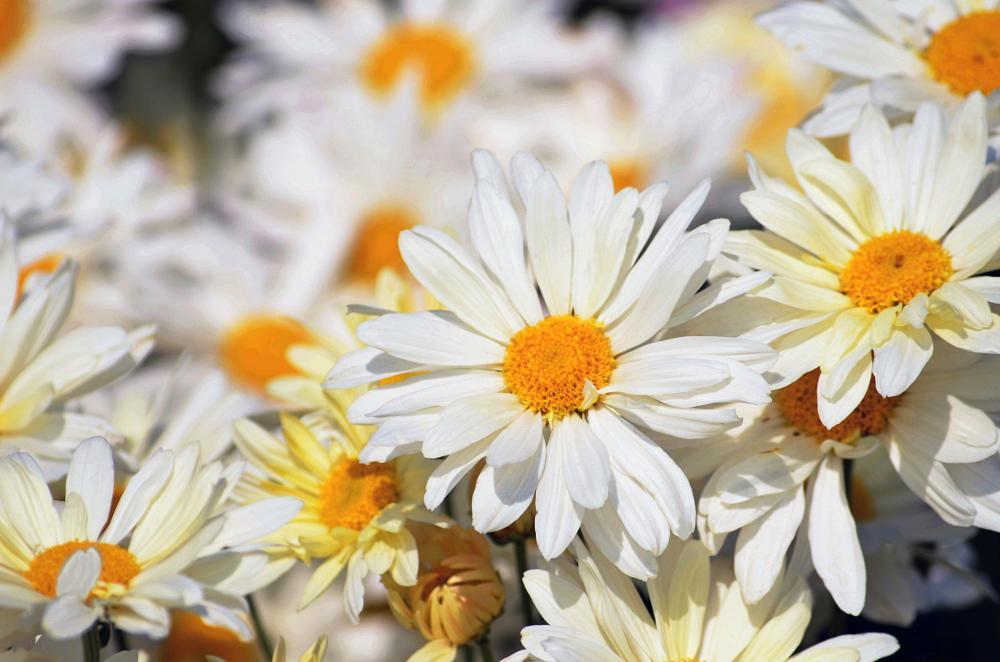 Photo in Nature #flowers #white flowers #mum flowers #petals #nikon