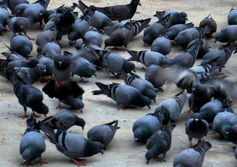 Photo in Nature #pigeons #birds #jowar #group of birds #nikon