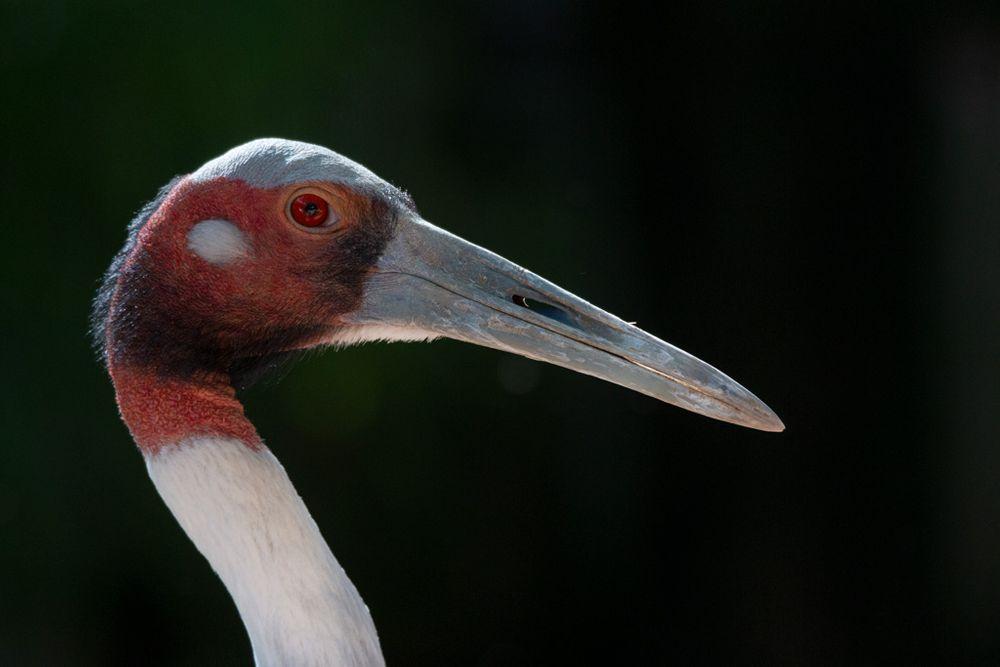 Photo in Animal #crane #manchurian #grus #japonensis #bird #birdwatching #portrait #beak