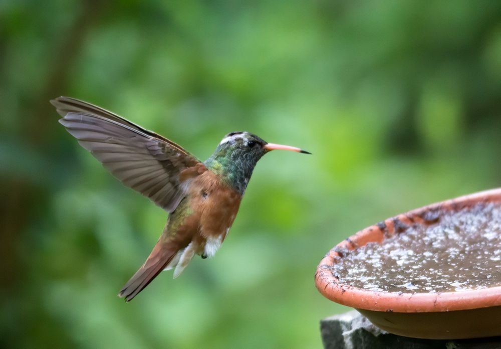 Photo in Animal #bird #birdwatching #amazilia #hummingbird