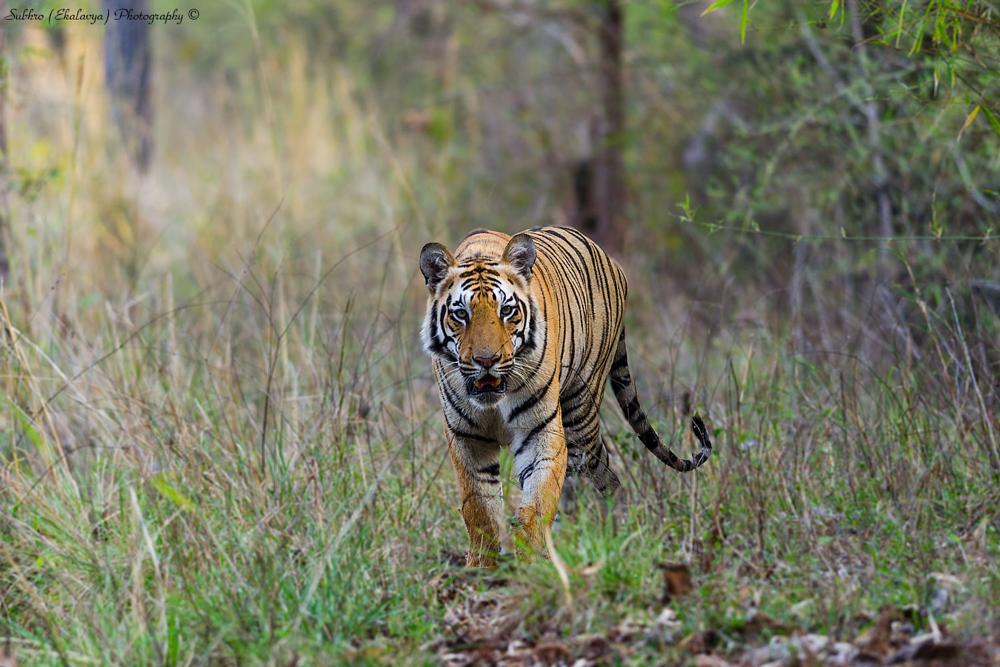 Photo in Animal #tiger
