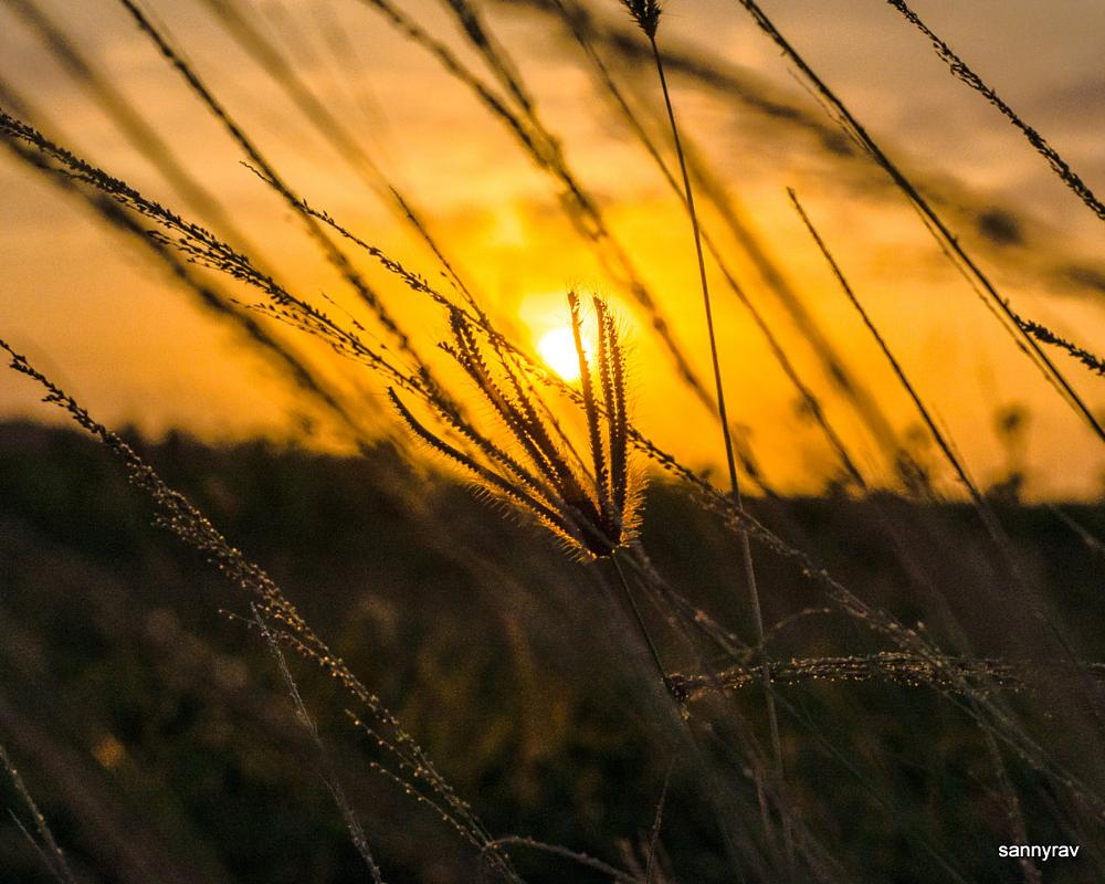 Photo in Nature #sunset #weeds #golden #bohek #macro