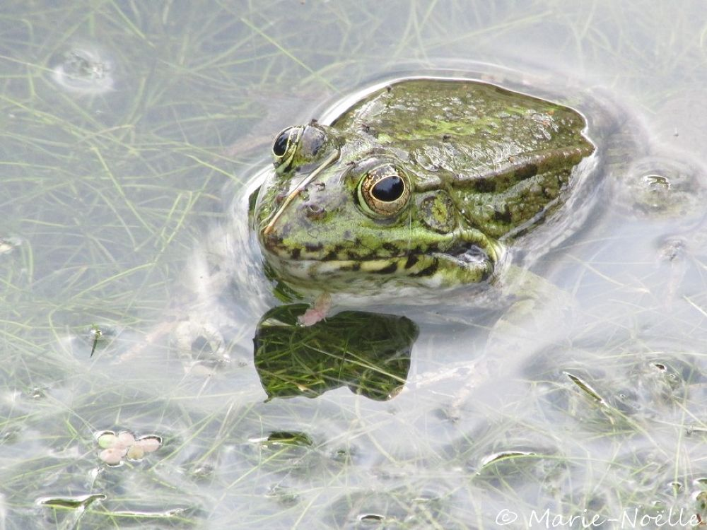 Photo in Animal #frog #grenouille #animal