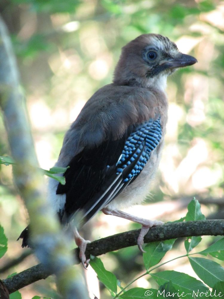 Photo in Animal #geai #bird #jay