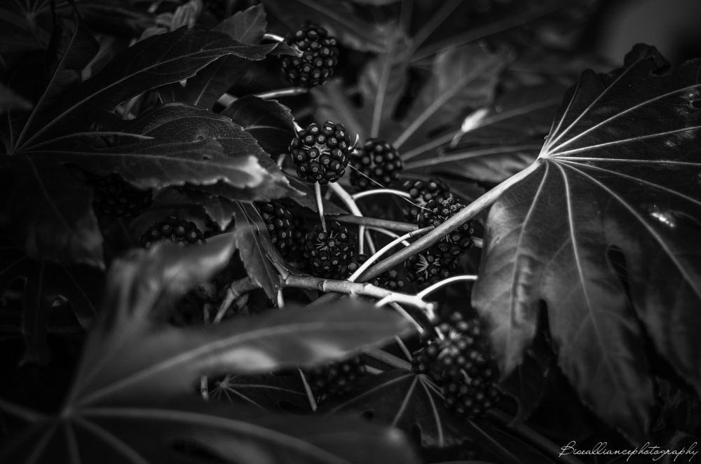 Photo in Black and White #berries #leafs #b&w #black and white #dark #pentax #k30 #hearst castle #california #vacation #san simeon