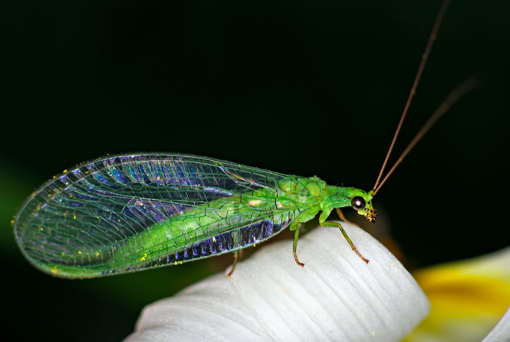 Photo in Macro #insect wings flying green colo
