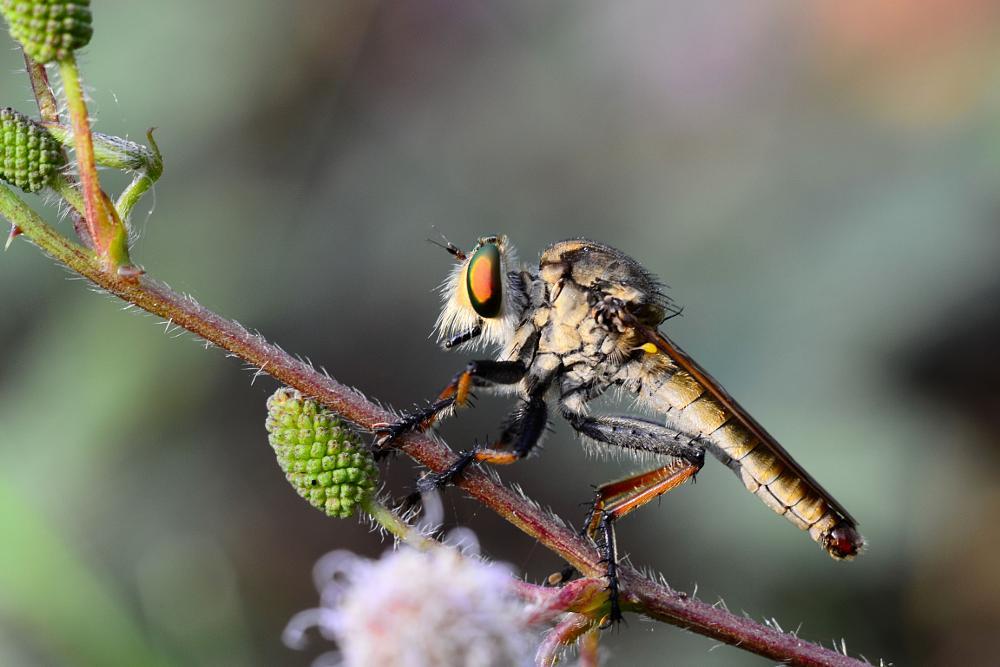 Photo in Macro #macroholic #macroperfection #robberfly #insectperfection