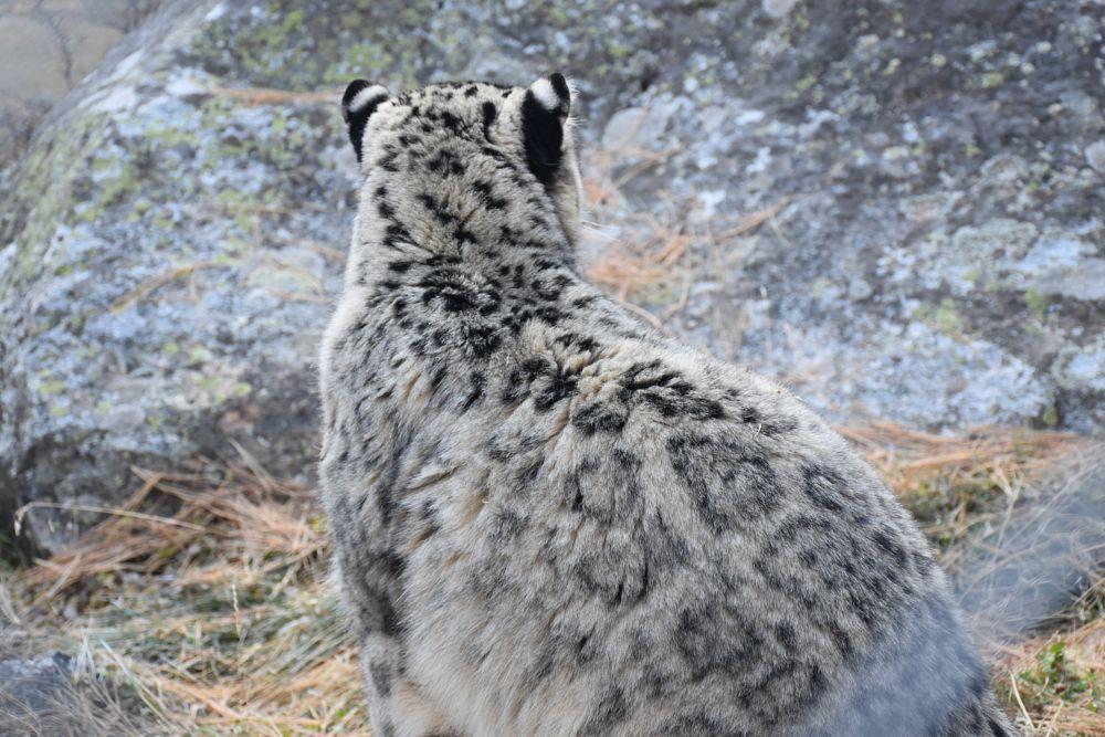 Photo in Animal #leopard #snow #pakistan #ramzanblog