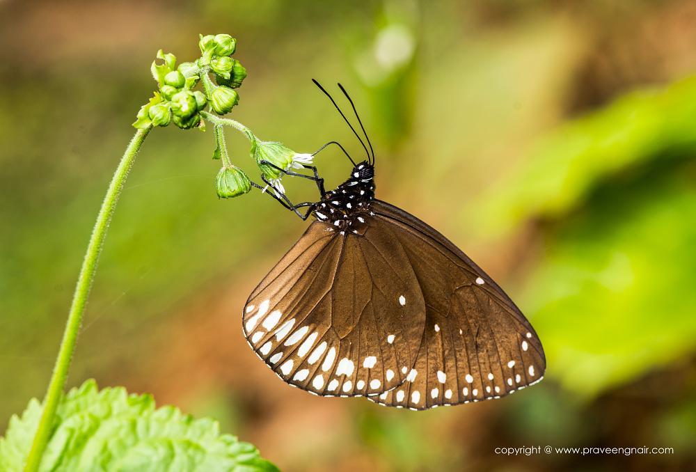Photo in Macro #www.praveengnair.com #nikon d800e #nikon 105mm f2.8 #butterflies in kerala #butterfly #nature #green