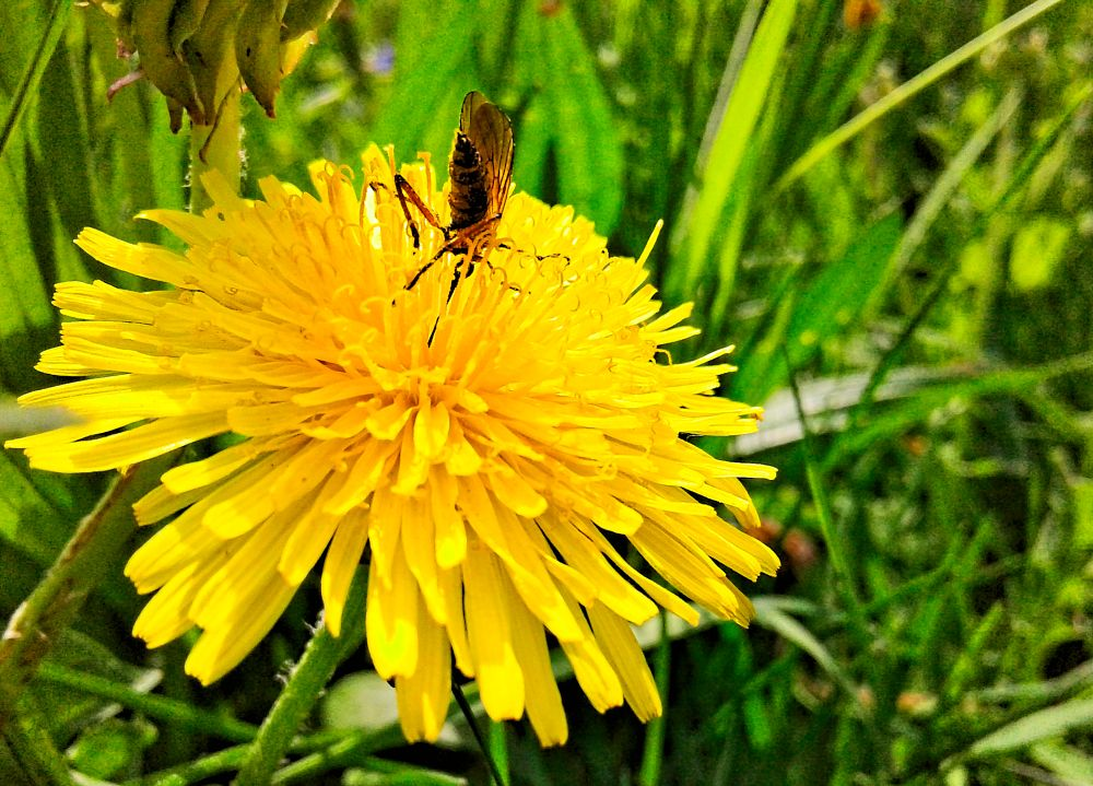 Photo in Macro #spring #garden #grass #flower #dandelion #bug #close up world #весна #сад #трава #цветок #одуванчик #жук