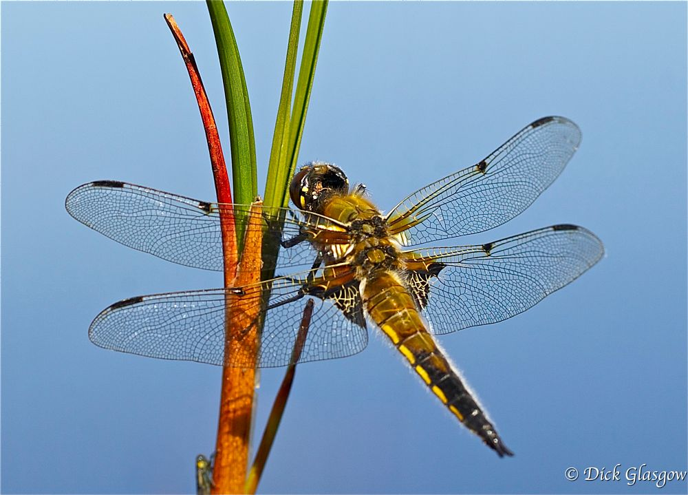 Photo in Animal #dragonfly #four-spotted chaser #ibsect #insects #nature #animal