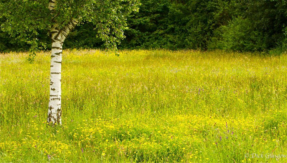 Photo in Nature #wildflower meadow #wildflower #nature #birch tree #tree #landscape