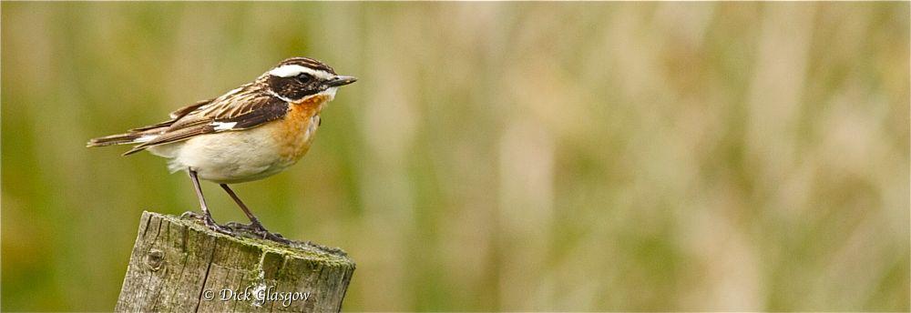 Photo in Animal #whinchat #bird #birds #nature #animal
