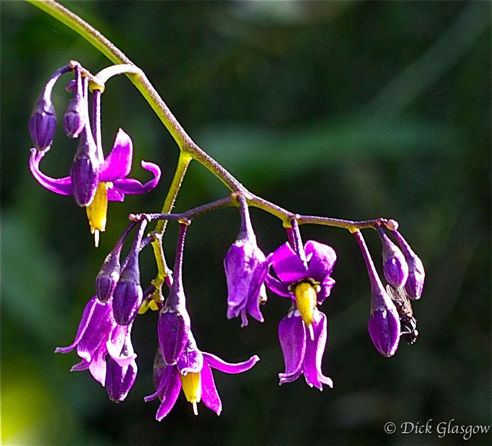Photo in Nature #wildflower #woody nightshade #flower #macro #nature