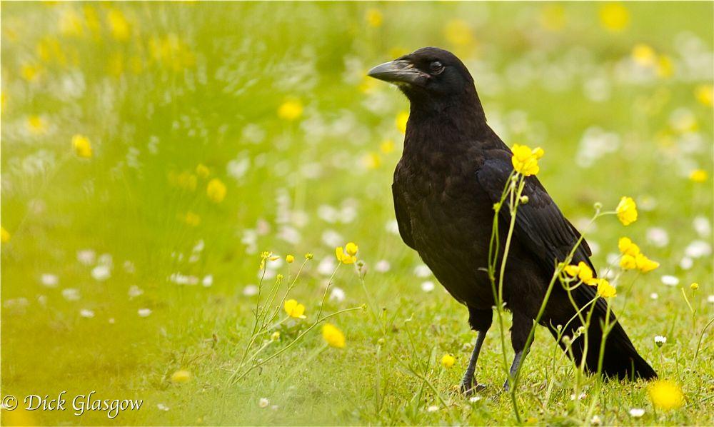 Photo in Animal #rook #bird #birds #nature #animal