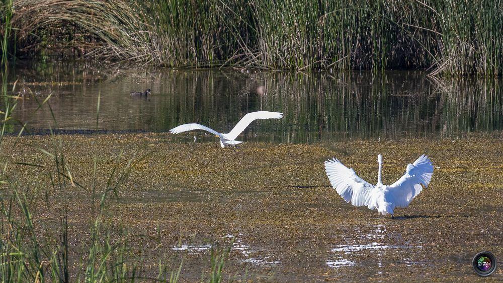 Photo in Animal #oiseau #vol #lac #marais #eau #aigrette #grande aigrette