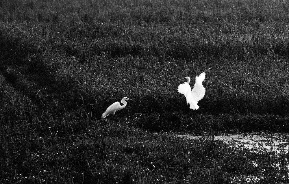 Photo in Black and White #black #bird #white #ttl photowalk #december #comilla #bangladesh #2017