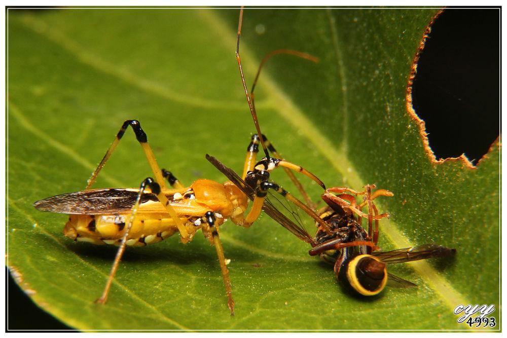 Photo in Macro #canon eos 550d #canon ef-s 18-135mm f3.5-5.6 i #猎椿 #reduviidae #assassin bug #cyy4993