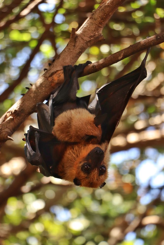 Photo in Nature #forest #bat #bat fox #animals #animals fotography #animals love #wild #wilderness #hanging #freedom