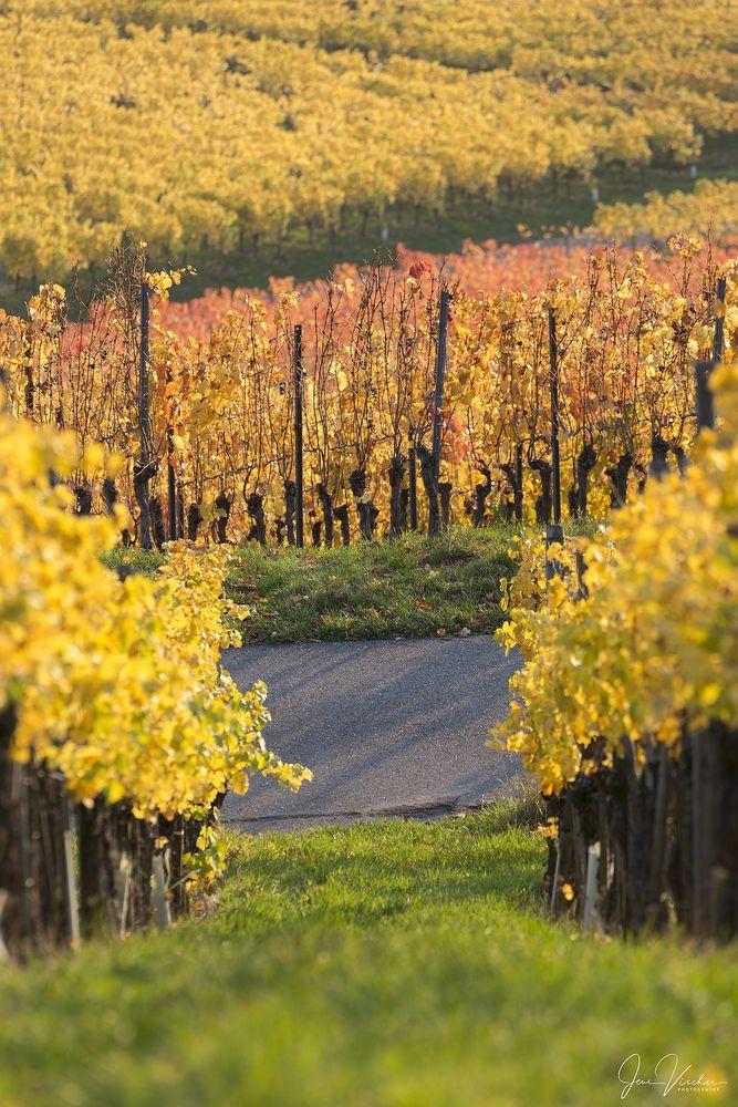 Photo in Landscape #vineyard #vine #focus #autumn #herbst #kappelberg #germany