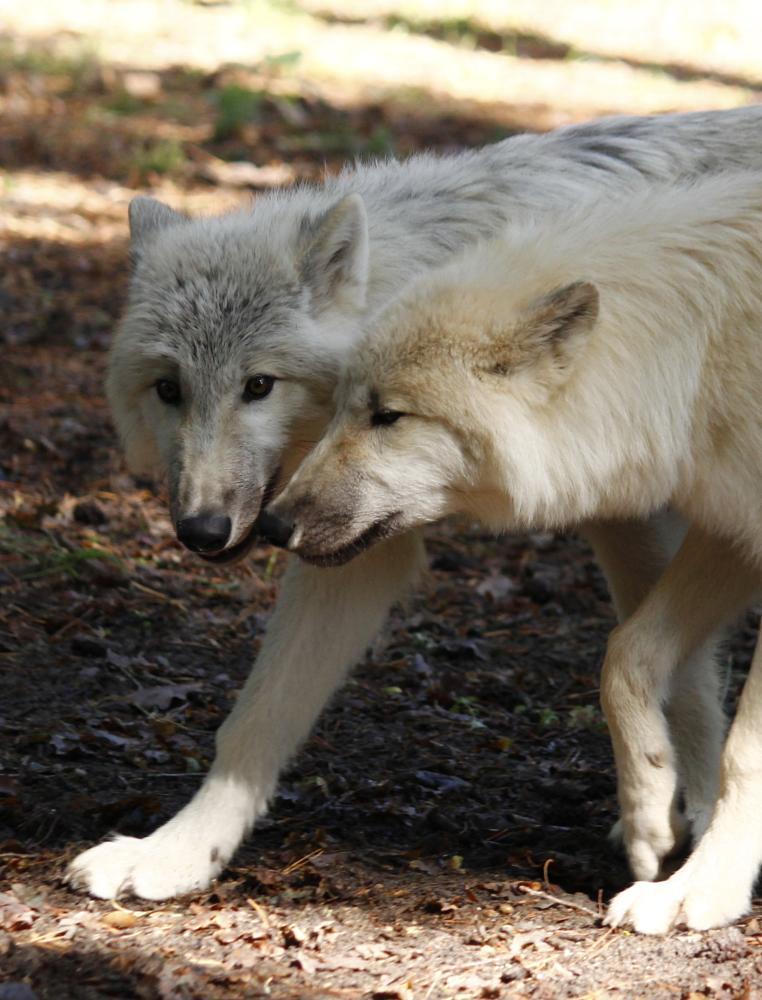 Photo in Animal #white wolf #wolf #puppy