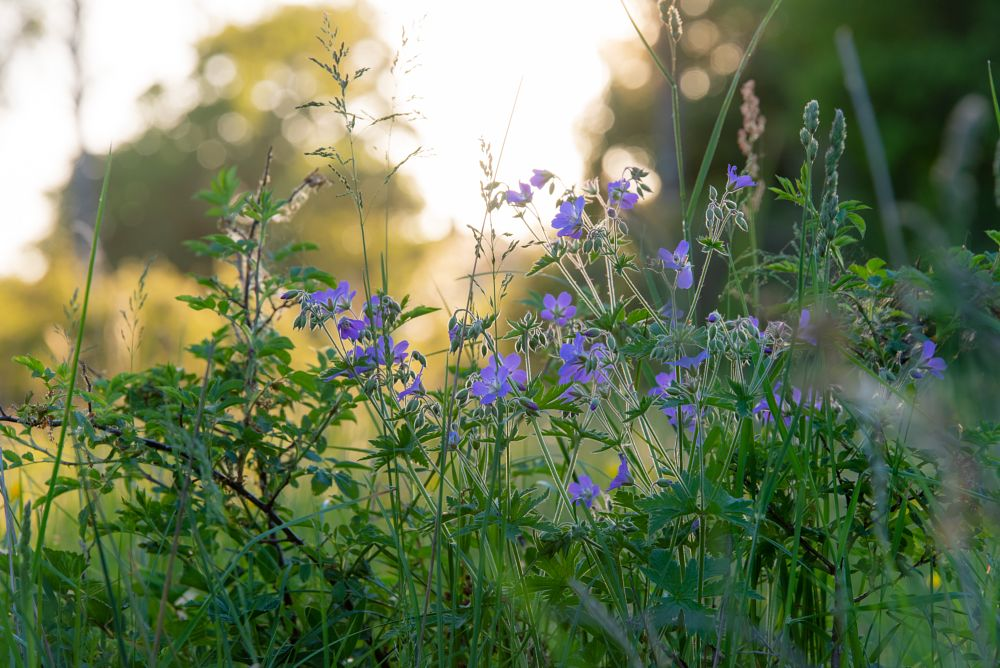 Photo in Nature #summer #summertime #flower #flowers #summerevening #sun #light #sunlight #nature #naturepic #naturephoto #sweden #naturephotography #nikon #d750